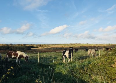 Ponies graze at St David's Airfield